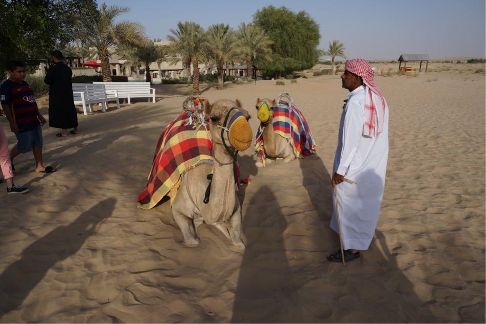 ドバイ砂漠、ラクダ