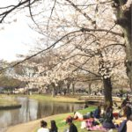 Let's go to Yoyogi Park! See cherry blossom and walk around Tomigaya area.