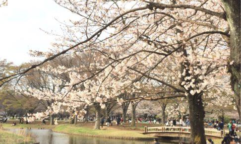 cherry blossom in yoyogi park